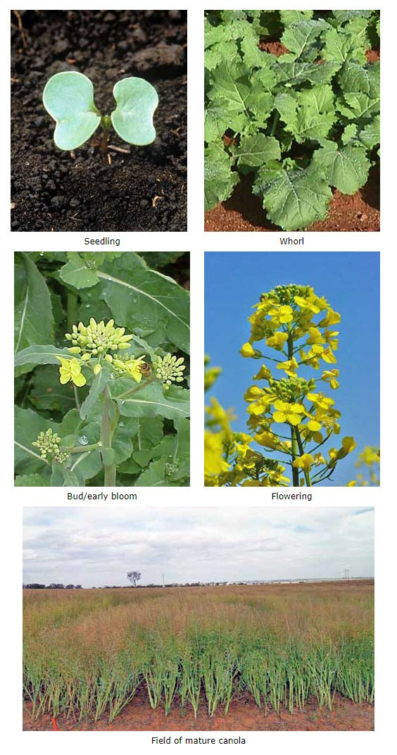Growth stages of canola: Photos depict a seedling, whorl, bud/early bloom, flowering and a field of mature canola